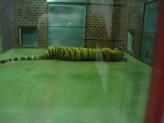 寝てるトラ