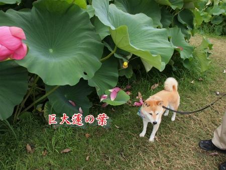 大きいハスの葉
