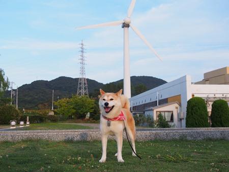 風車とさくら