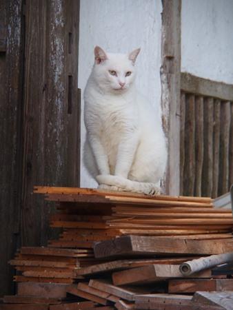 白ネコさん