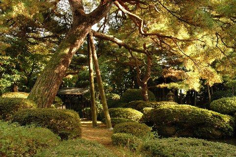 菅家庭園・老松