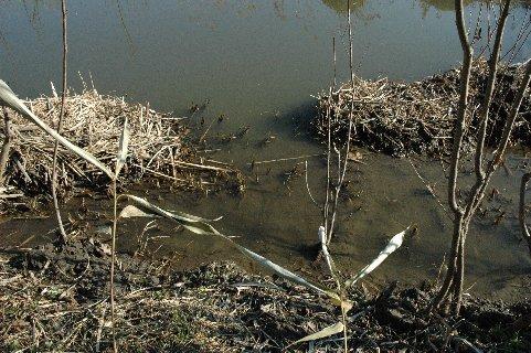 浄化池のメダカ
