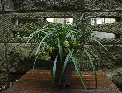 早く咲いた春蘭の鉢