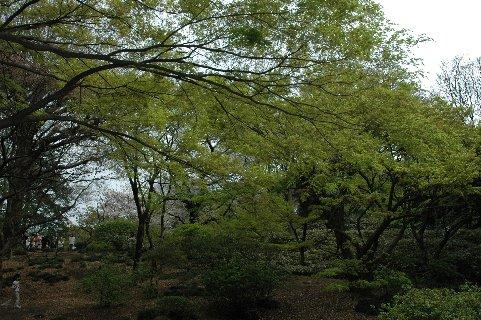 六義園紅葉の新芽