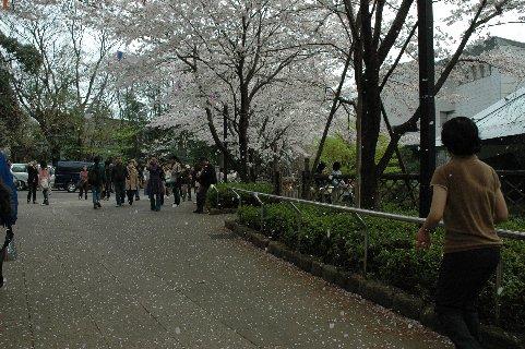 飛鳥山の花吹雪