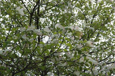 花水木・白