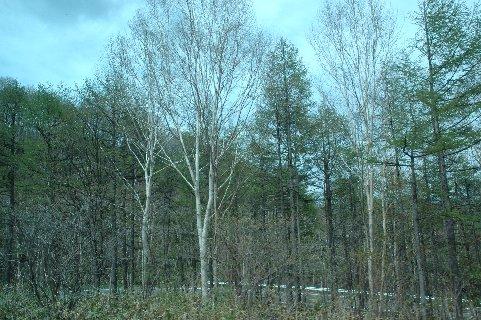 白カバの自然樹形1