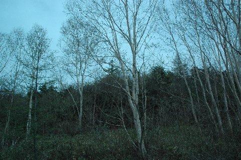 白カバ自然樹形2