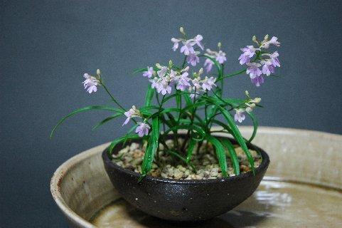 ウチョウラン・従来型山野草鉢