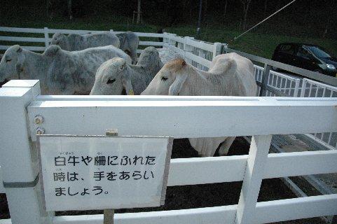 嶺岡の白牛