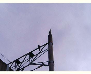 電柱の上のアオサギとカラス
