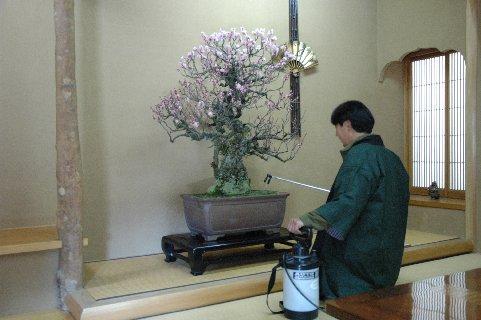 室内の盆栽に水やりするスタッフ