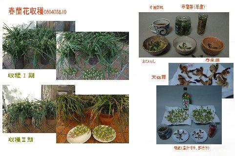 春蘭茶05