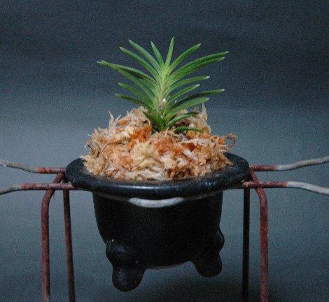 従来の風蘭鉢:楽焼