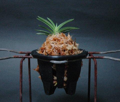 スリットの入ったプラスチックの風蘭鉢