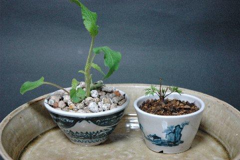 蕎麦猪口風鉢に植えたもの