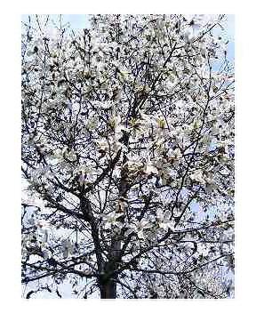 咲き始めたコブシの木