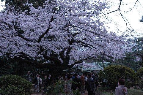 六義園・吹き上げ茶屋そばの桜