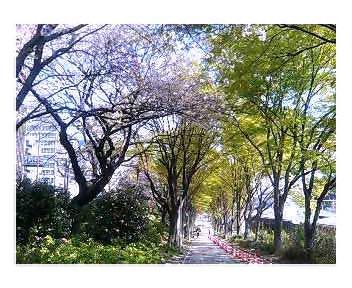 外濠公園の桜とカエデ