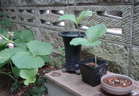 鉢植えのクマガイソウ
