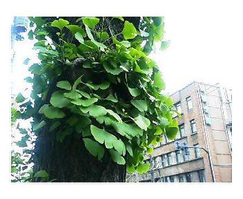 白山通り・イチョウ並木の若葉