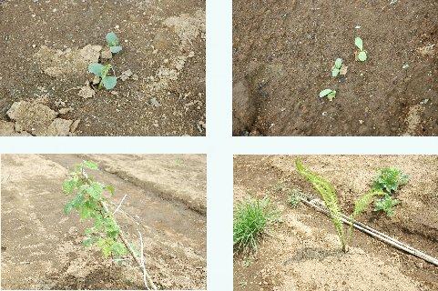 芽を出した野菜等