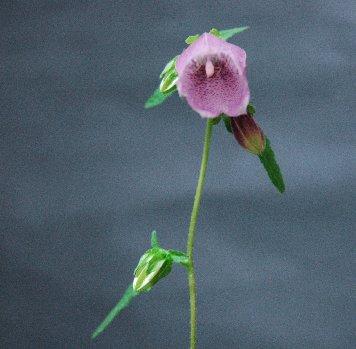 ホタルブクロの花の中