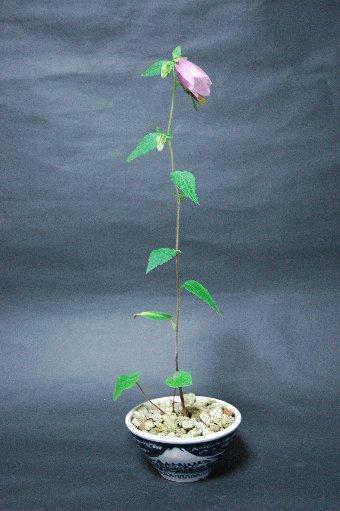 ホタルブクロの花全体像