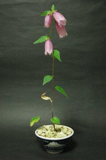 6・18ホタルブクロの花全開