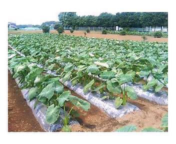 プロのサトイモ畑