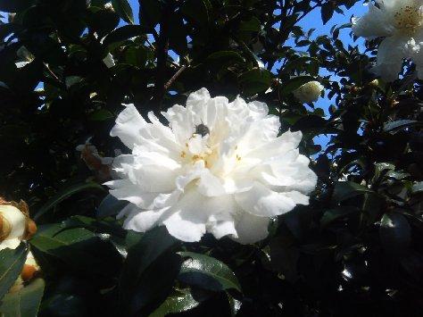 公園の白い山茶花