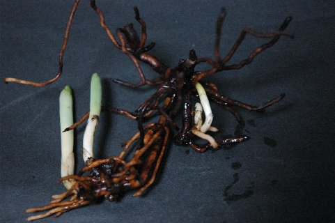普通鉢の方の3芽