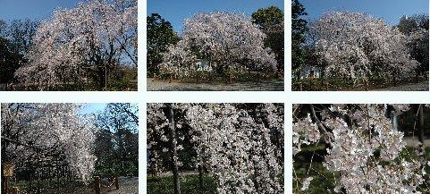 六義園の枝垂れ桜・三方から