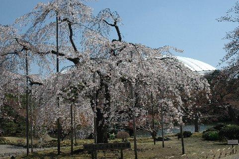 後楽園の枝垂れ桜