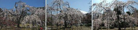 後楽園の枝垂れ桜・三方から