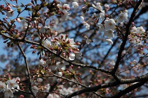 ニ三分咲きのソメイヨシノ