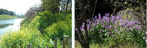 菜の花と花ダイコン