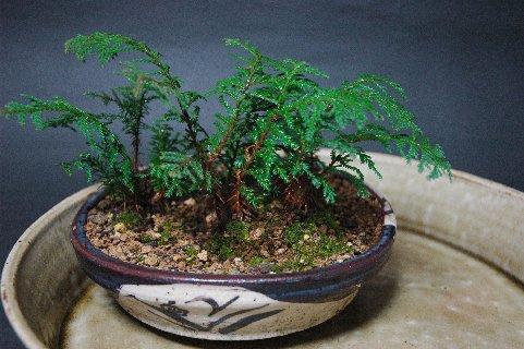 実生ヒノキの寄せ植え(前面)