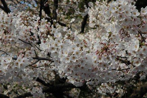 満開の上野の桜