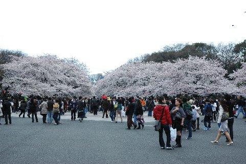 国立博物館側から見た上野公園の桜