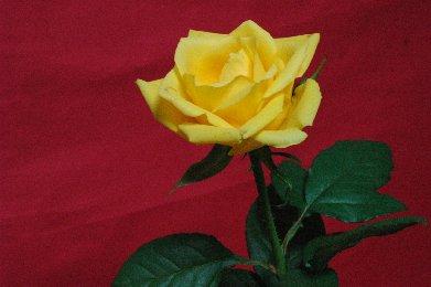 開いたバラの花