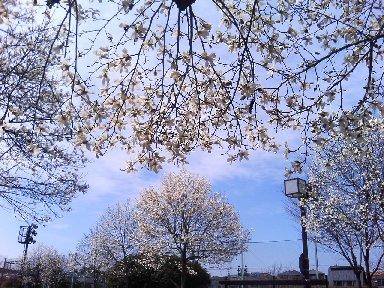 コブシが咲いた