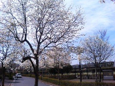 コブシ並木