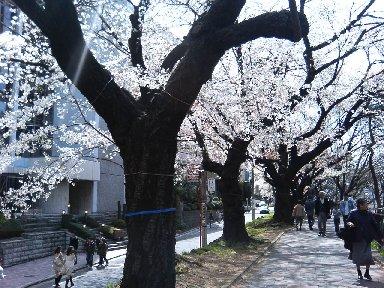 飯田橋・外濠公園の桜並木