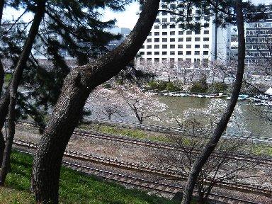 外堀通り沿いの桜