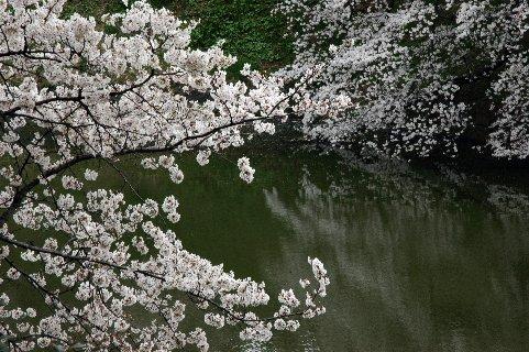 濠に映える桜