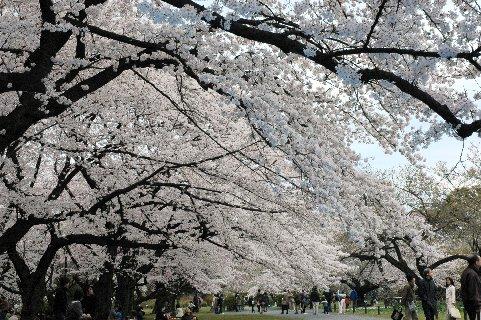 小石川植物園の巨木群