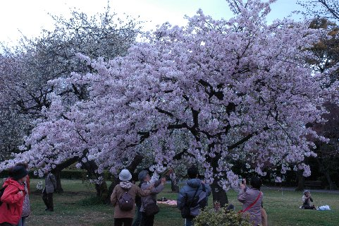 アマギヨシノ・木