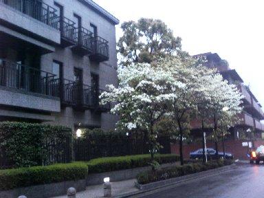 研究所界隈で咲く、白ハナミズキ