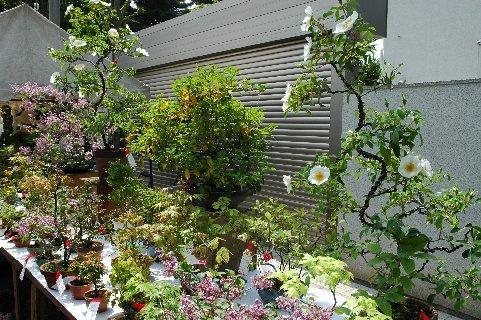 ナニワのイバラ(盆栽)